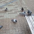 写真: 鳩に包囲される3