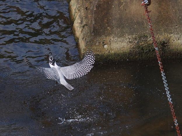 Photos: ヤマセミ 6.29 飛び込み-10