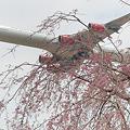 しだれ桜とヴァージンアトランティック