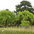 枝垂れ葉桜