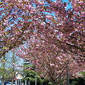 Photos: 八重桜も満開♪