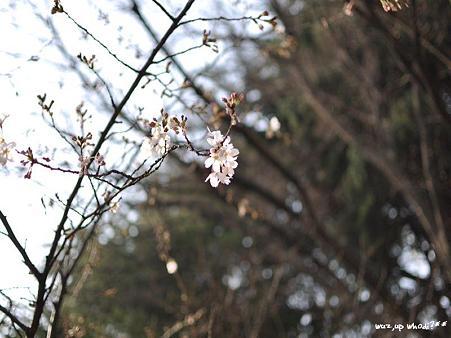 壱分咲き。