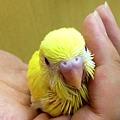 写真: 黄色セキセイインコのヒナで...