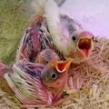 写真: 白文鳥の雛。 二週間目の赤...