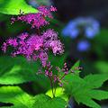 写真: キョウカノコ開花 ♪