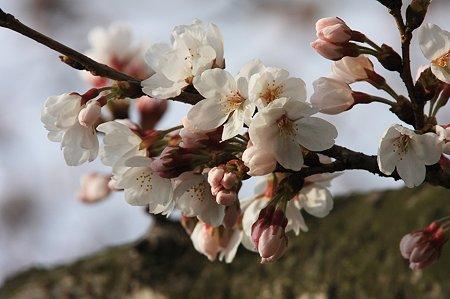 2010.03.31 和泉川 さくら