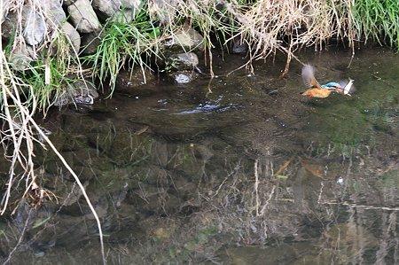 2010.04.06 和泉川 カワセミ 狩