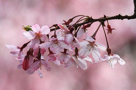 2010.04.06 和泉川 枝垂桜-1
