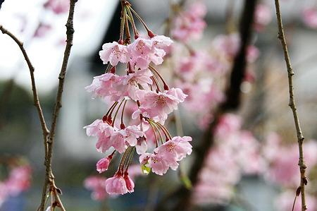 2010.04.13 和泉川 枝垂桜