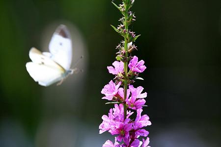 2010.07.20 和泉川 ミソハギに蝶