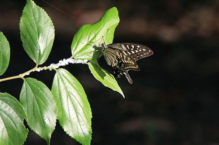 2010.09.06 和泉川 アゲハチョウ枝にアオバハゴロモの幼虫