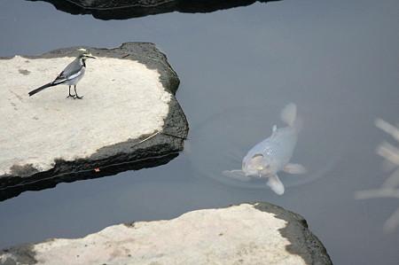 2010.11.14 和泉川 ハクセキレイと鯉