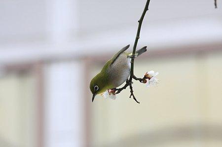 2011.02.12 和泉川 梅にメジロ