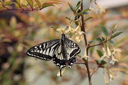 2011.04.21 追分市民の森  ダイオウグミにアゲハチョウ
