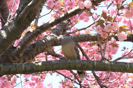 2011.04.25 和泉川 八重桜にキジバト