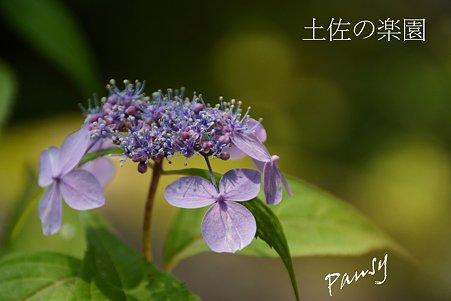 土佐の楽園・・光則寺の山アジサイ 54