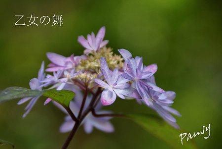 乙女の舞・・光則寺の山アジサイ 58