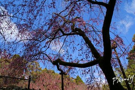 咲き始めの紅しだれ・・平安神宮神苑にて・・2