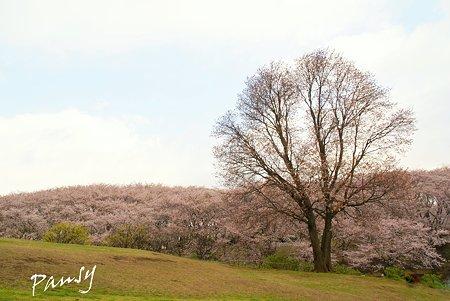 大樹・・桜の彩り