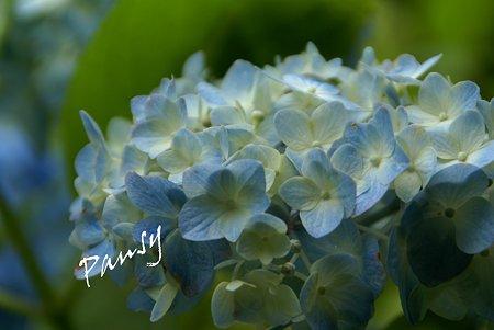 明月院 blue・・4