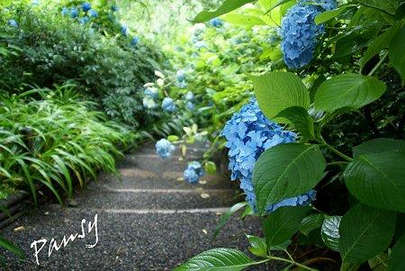 明月院 blue・・5