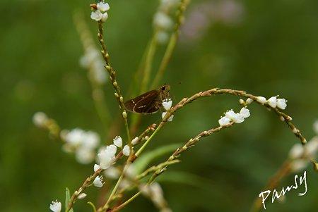 白花桜蓼(シロバナサクラタデ)と・・蝶・・