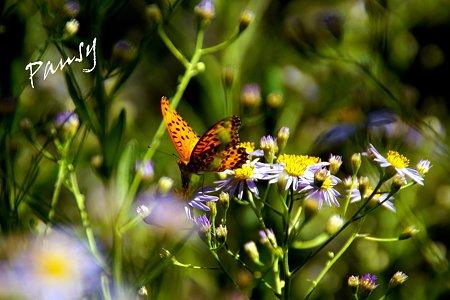 光のなかで・・紫苑と蝶・・