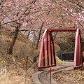 写真: 河津桜・・松田山 9