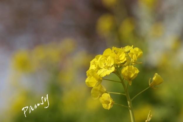 写真: 菜の花イエロー・・