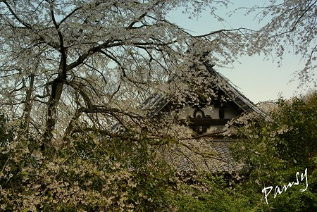 しだれ桜・・安国論寺・・5