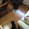 Photos: 猫ちゃんに睨まれ動けない銀・・・