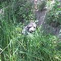 Photos: 草に埋もれながらも食べる春馬