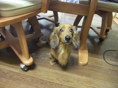 ダックスはテーブルの下がお好き?