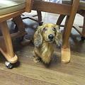 Photos: ダックスはテーブルの下がお好き?