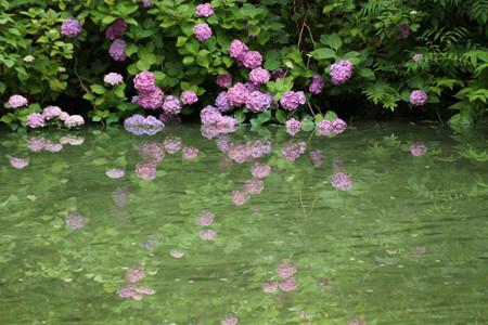 池に映りこむアジサイ2012!
