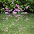 Photos: 池に映りこむアジサイ2012!