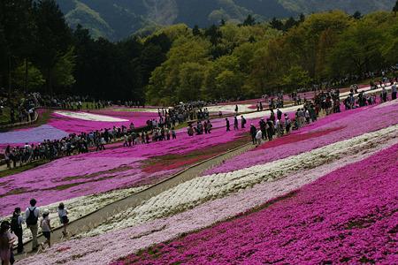 芝桜のジュータン5!(100504)