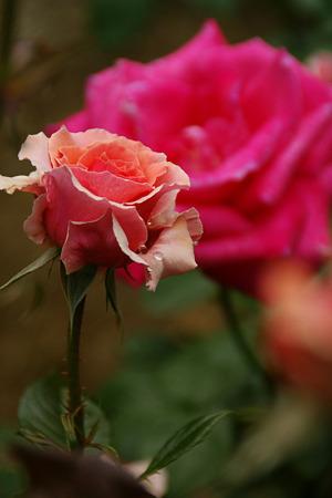 春薔薇!(100529)