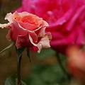 Photos: 春薔薇!(100529)
