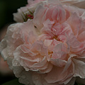 Photos: 薔薇の大輪!(100529)