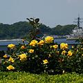 Photos: 薔薇と海軍