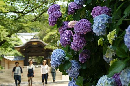 紫陽花の参道、円覚寺!(110625)