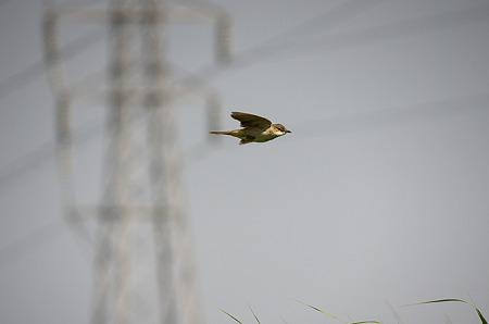 オオヨリキリの飛翔3