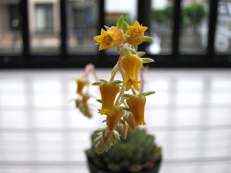 Hananobara開花