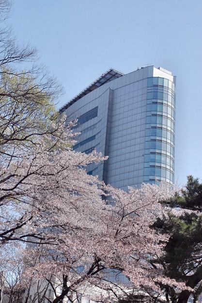 モダンな市庁舎を桜花が隠す-1-D8-0413-17