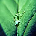 写真: 葉っぱと雫5