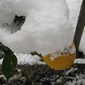 Photos: レモンも凍ってます。