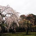 Photos: 御所の桜