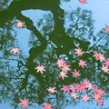 もみじ咲く~御池の松に~