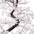 桜ハイキー
